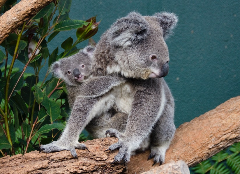 A picture of a Koala in the Sydney Zoo a short distance from the Cambridge Hotel in Surry Hills