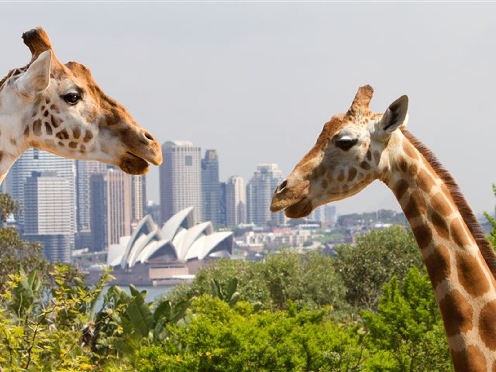 A picture of Graffias from Taronga Zoo located in Sydney